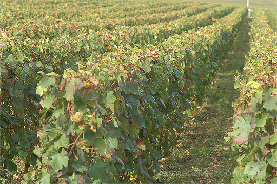 photo : vigne en Bourgogne